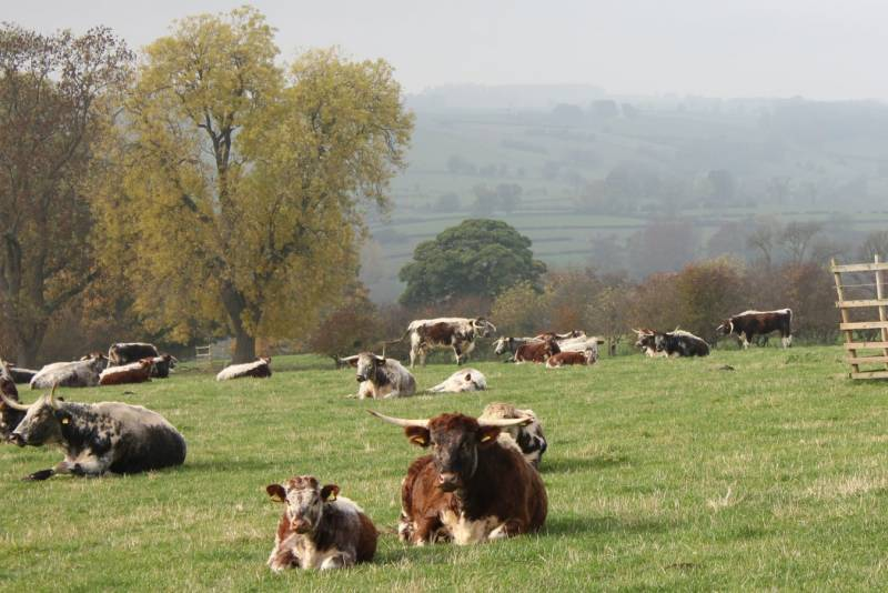 Haddon Hall Herd