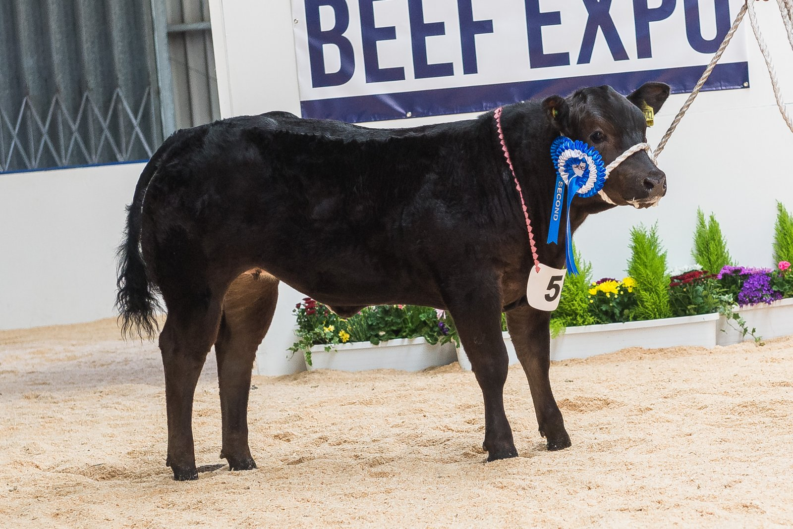 Baby Beef Reserve Champion