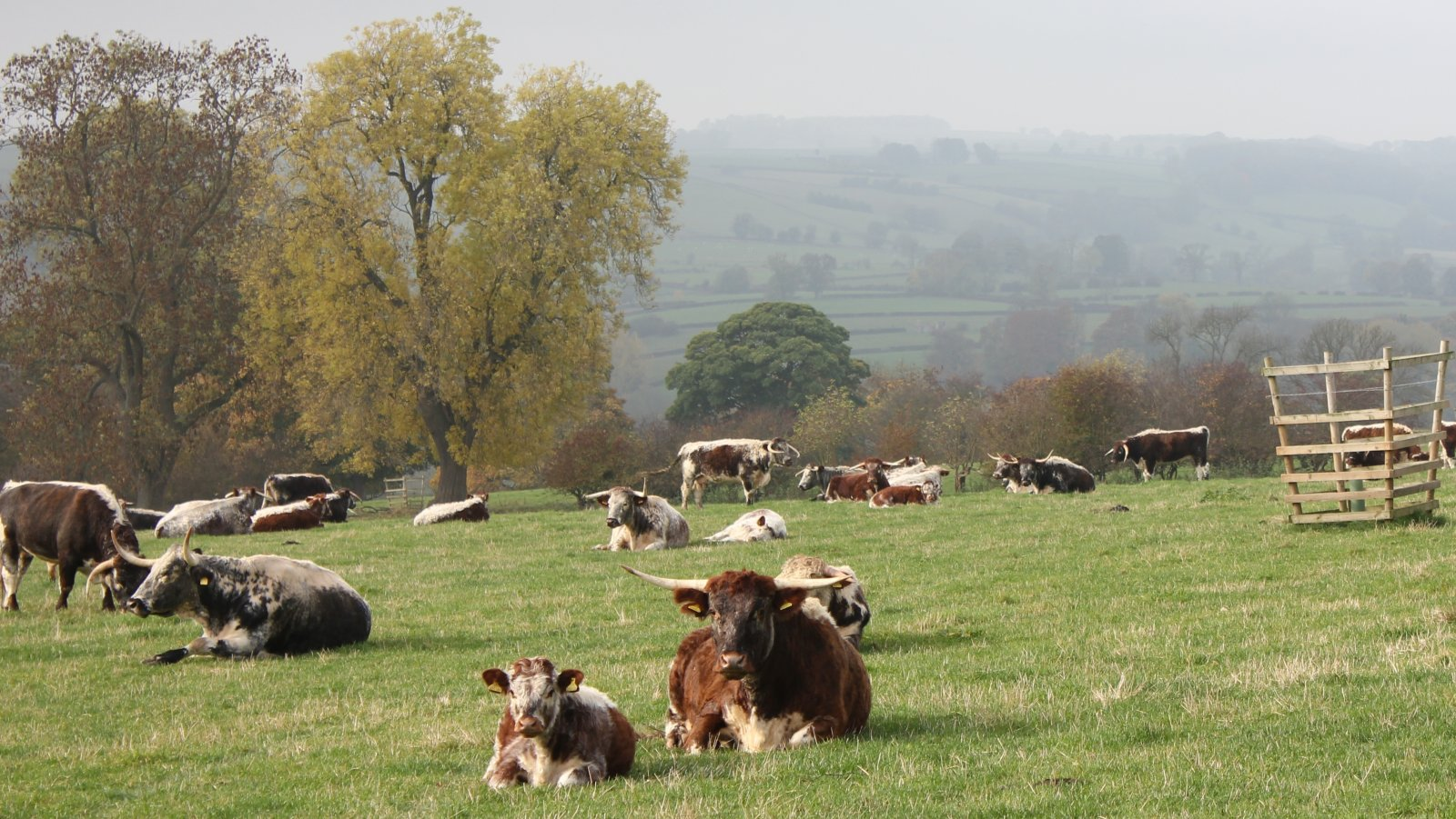 Haddon Hall Herd