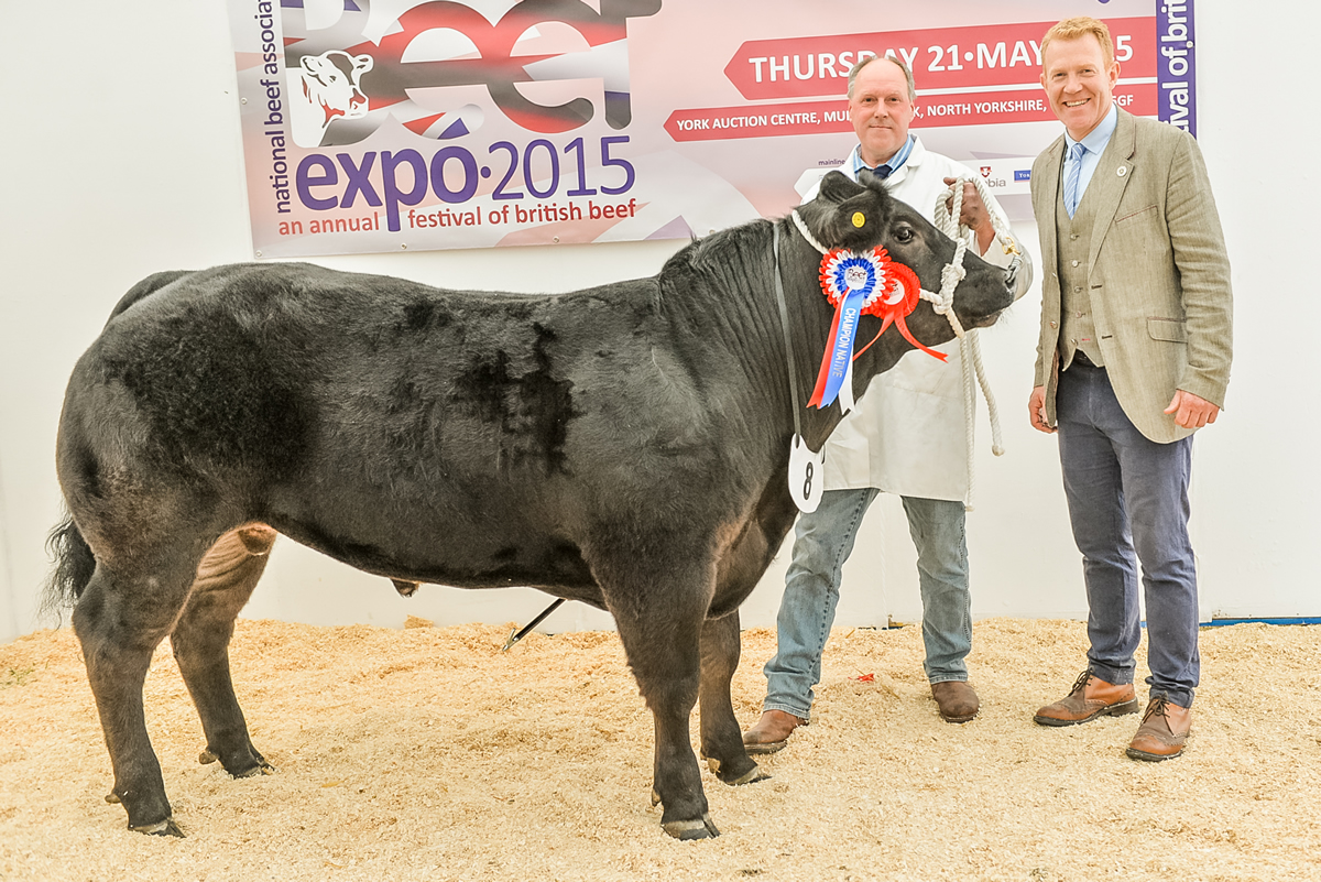 Champion Native NBA Beef Expo 2015 Galloway x Limousin British Blue from Phillip Robson